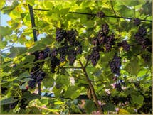 Fragolino grapes in the garden